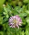 Trifolium pratense L. (7704451786).jpg