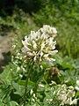 Trifolium repens flower.JPG