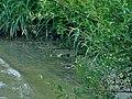 Tringa ochropus - sprudnik pijukavac.jpg