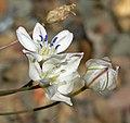 Triteleia lilacina 3.jpg