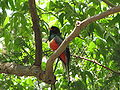 Trogon elegans- Male.jpg
