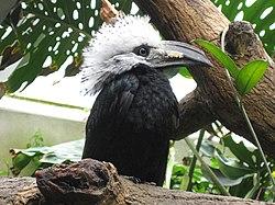 Tropicranus albocristatus -Central Park Zoo-6.jpg