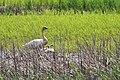 Trumpeter Swan With Cygnets (35415111081).jpg