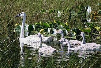 Trumpeter swan - Trumpeter swan brood