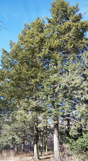 Eastern Hemlock Tsuga canadensis specimens at ...