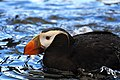 Tufted puffin in profile.jpg