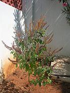 Tulasi shrub