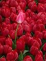 Tulip 1300196.jpg