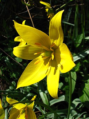Description de l'image Tulipa sylvestris 02.JPG.