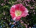 Tulipan u rozoj boji.jpg