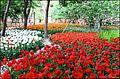 Tulips festival - panoramio.jpg