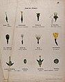 Twelve examples of different types of flower pistil. Chromol Wellcome V0044574.jpg
