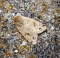 Twin-spotted Quaker (41239062061).jpg