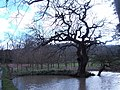 Twisted tree and pond - geograph.org.uk - 363095.jpg