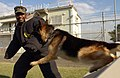 US Navy 041201-N-5821P-019 Master-at-Arms 2nd Class Linell Tarver of Montgomery, Ala., braces for impact from Jack President, a Military Working Dog (MWD) assigned to Commander Fleet Activities Yokosuka, during a bite exercise.jpg