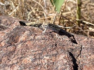 US Utah Lizard in Antelope Island.JPG