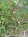 Ugni molinae (14436435104).jpg