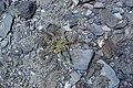 Unidentified Fabacea in Gorno-Badakhshan.jpg