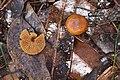 Unidentified Fungi (7360014834).jpg