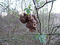 Unidentified galls 04.JPG