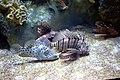 Unknown fishes in the Antalya Aquarium 02.jpg