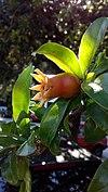 Unripened pomegranate fruit - άγουρο ρόδι 001.jpg