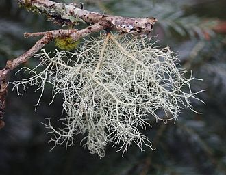Lichen growth forms - Usnea filipendula is a fruticose lichen that forms hanging shrubby tufts