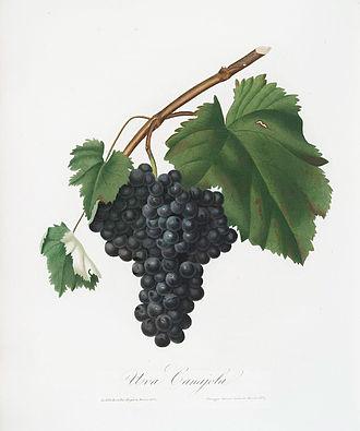 Canaiolo - Canaiolo by Giorgio Gallesio