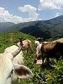Vacas en Los Magueyitos, Tecoanapa.jpg