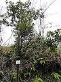 Vaccinium bracteatum - Miyajima Natural Botanical Garden - DSC02382.JPG