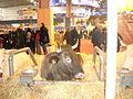 Vache Casta SIA2016.JPG