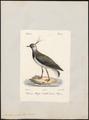 Vanellus cristatus - 1842-1848 - Print - Iconographia Zoologica - Special Collections University of Amsterdam - UBA01 IZ17200119.tif