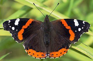 Babôčka admirálska (Vanessa atalanta) - motýľ