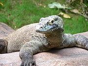 Komodovaran (sårbar)