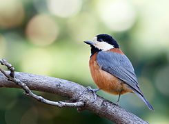 Varied tit at Tennōji Park in Osaka, January 2016.jpg