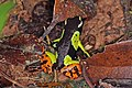 Variegated golden frog (Mantella baroni) 2.jpg