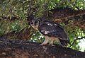 Verreaux's eagle-owl, or giant eagle owl, Bubo lacteus eating a snake at Pafuri, Kruger National Park, South Africa (20692013691).jpg