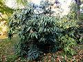Viburnum rhytidophyllum (13).JPG