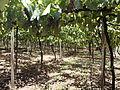 Vinhas da Vinícola Torcello (Bento Gonçalves, Brasil) 0 0.JPG