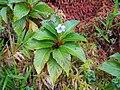 Viola stipularis-La Soufrière-Guadeloupe 2.JPG