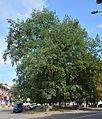 Volodymyr-Volynskiy Giant Oak 01 (YDS 6426).jpg