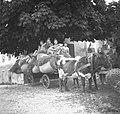Voz s senom v rjuhah. Krave vprežene s komati, Kal 1952.jpg