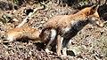 Vulpes vulpes japonica side.JPG