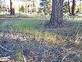 Vulpia octoflora (6244085056).jpg