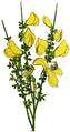 WWB-0025-007-Cytisus scoparius-crop.png