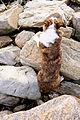Welsh Corgi Cardigan Climbing 2.jpg