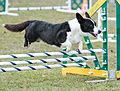 Welsh Corgi Cardigan Fond Du Lac County Kennel Club.jpg