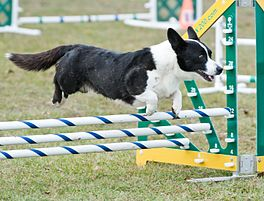 Een Welsh Corgi Cardigan springt over een agility obstakel.