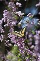 Western Swallowtail Butterfly (3389348598).jpg