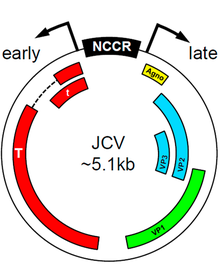 jc virus - wikipedia, Skeleton